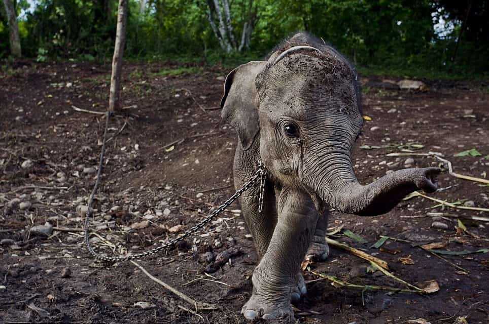 Baby elephant in chains