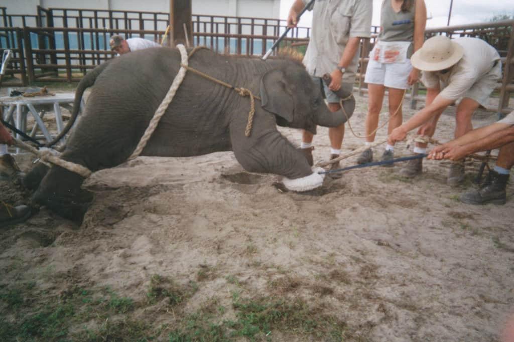 Baby Elephant Trained