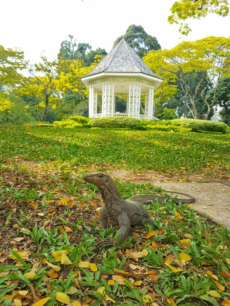 A monitor lizard in the Botanic Gardens, Singapore